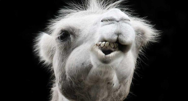 camel-1627701_1280